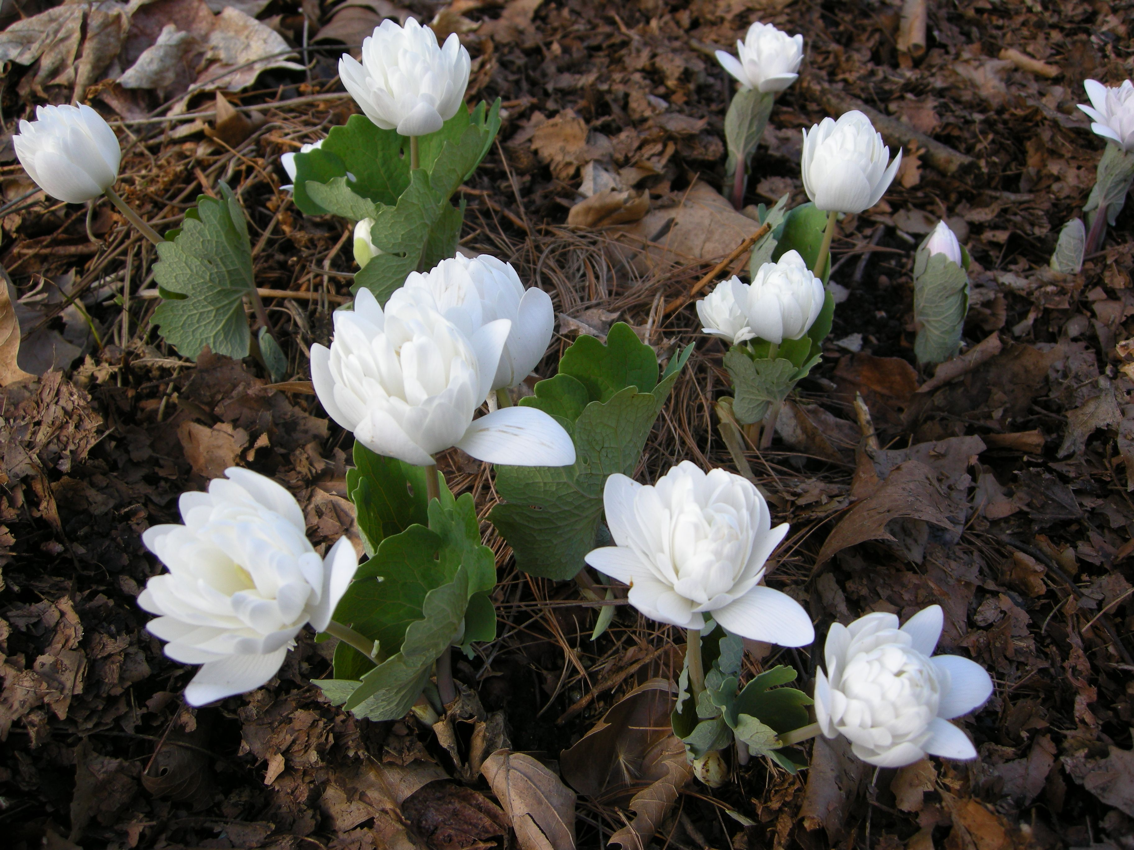 Double bloodroot sanguinaria canadensis shade plants pinterest double bloodroot sanguinaria canadensis mightylinksfo Images