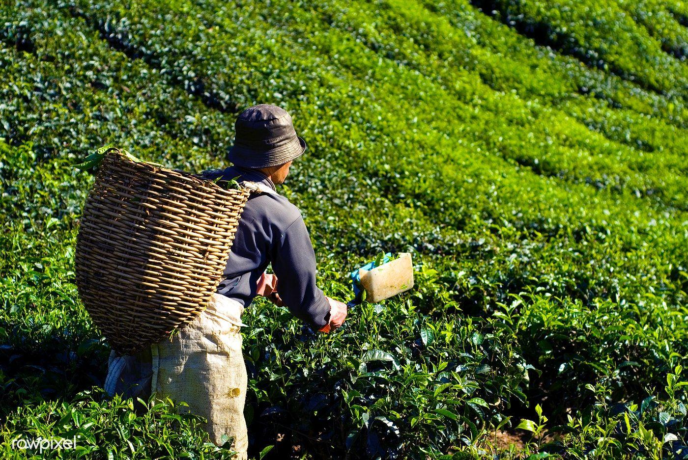Tea picker harvesting tea leaves premium image by