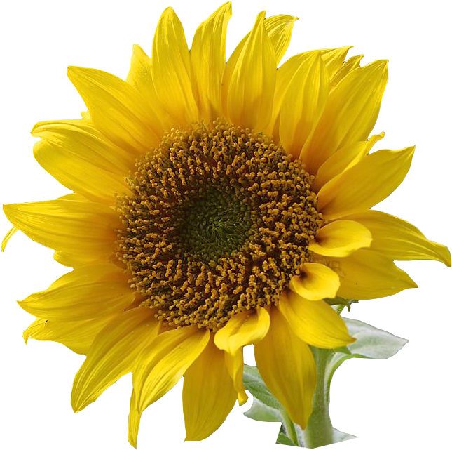 Resolution Graphics And Clip Art Free Sunflower Png