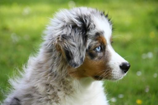 Australian Shepherd Charakter Haltung Pflege Markt De Aussie Welpen Welpen Australian Shepherd
