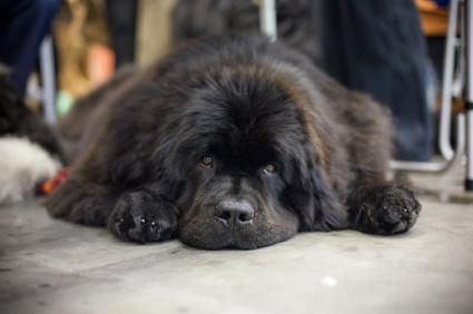 Presidential Pets A Newfoundland Named Lara Joined President James Buchanan In The Oval Office During His Tenure