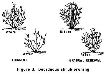 Thinning a bush for better growth and easier maintenance