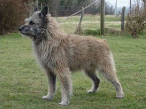 Ardennes Cattle Dog