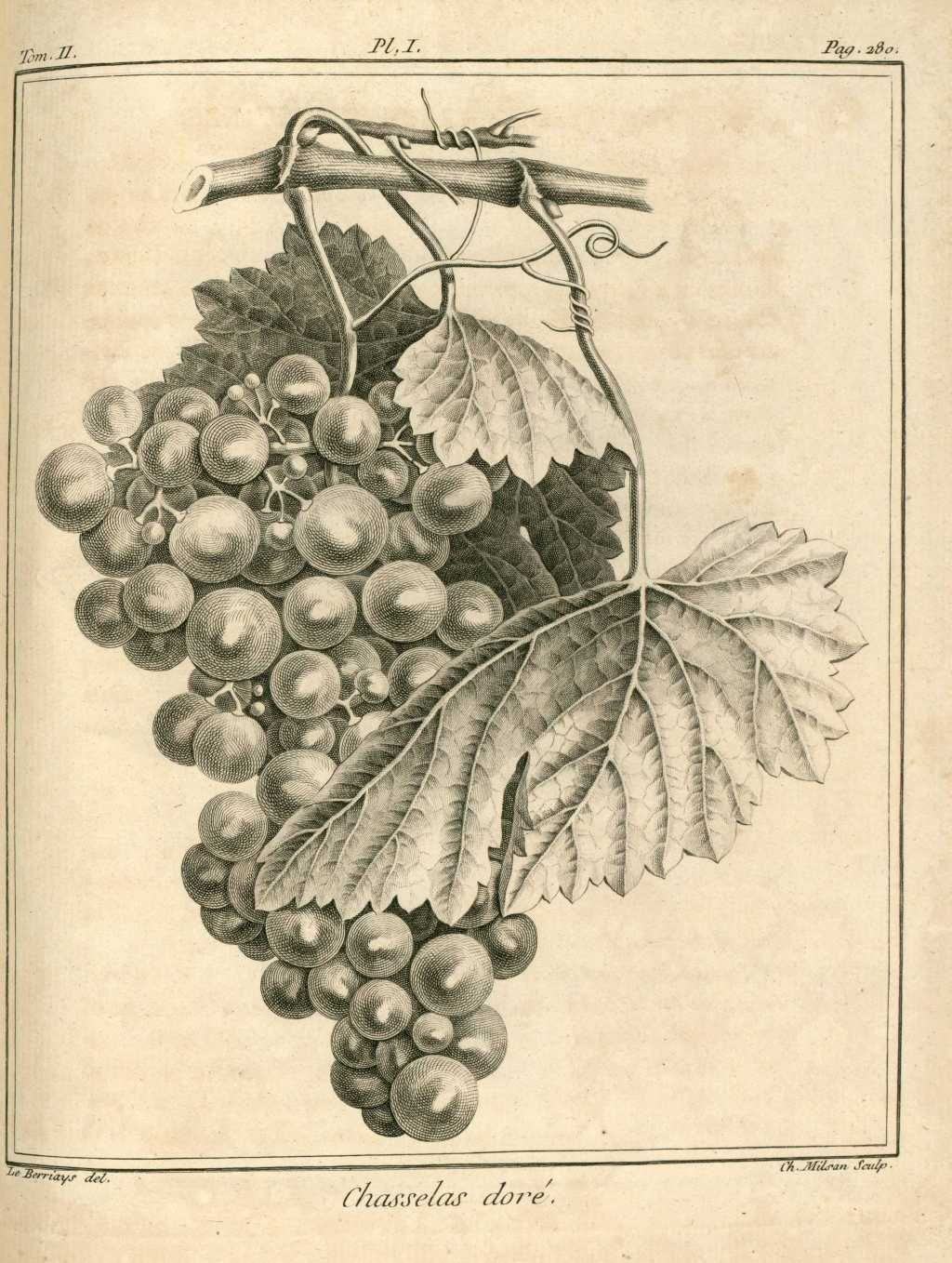 Img dessins gravures arbres fruitiers et fruits raisin for Arbre fruitier