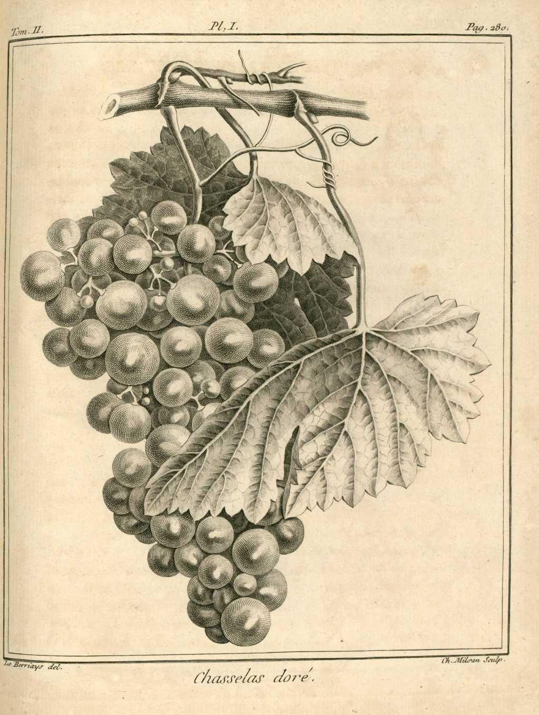 Img dessins gravures arbres fruitiers et fruits raisin for Arbre fruitier
