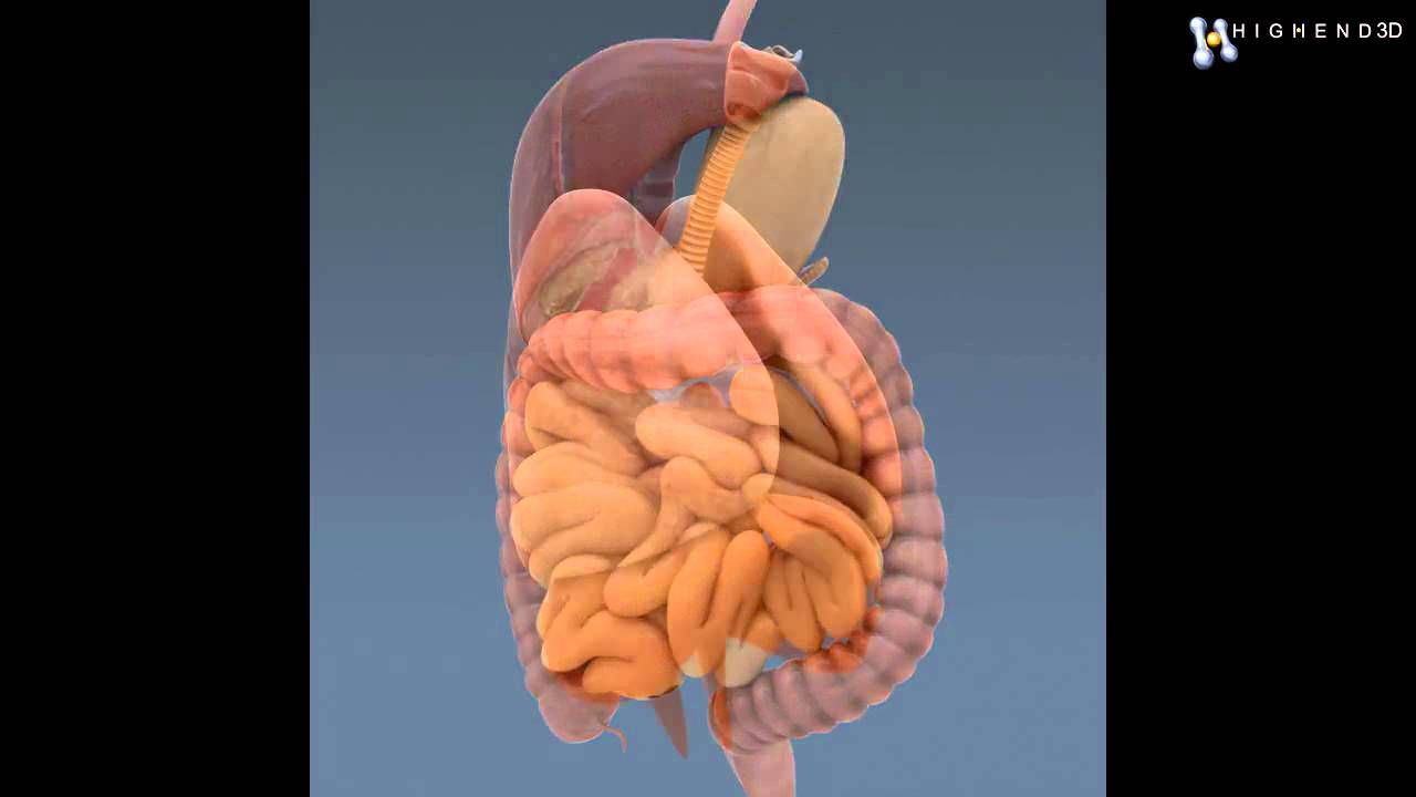 Pictures Of The Internal Organs Of The Human Body Human Body Anatomy
