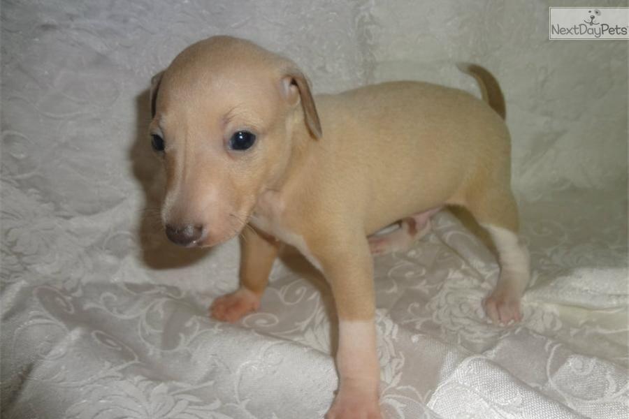Iggy Puppy Italian Greyhounds Cousins Pinterest Italian