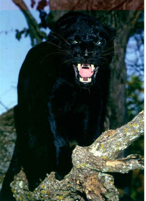 Angry Photography | photos angry panther | MAKE MY DAY ...