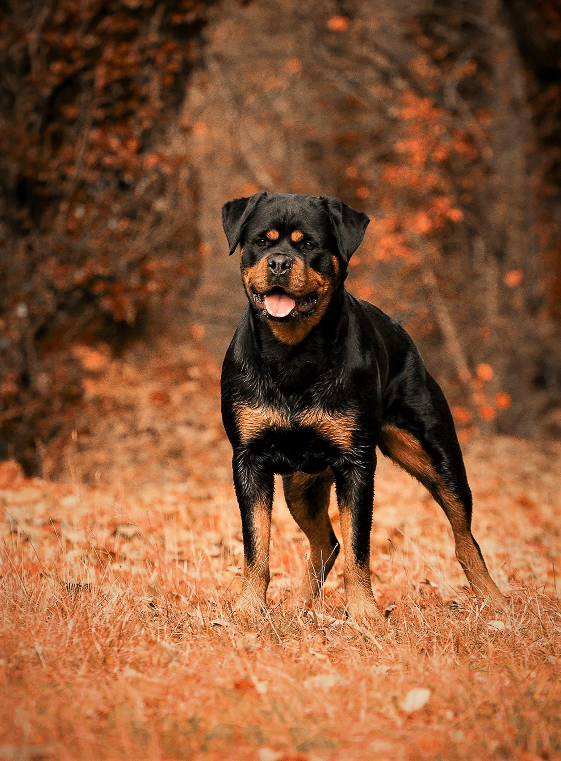 Pin By Alphonse Spurlock Jr On Rottie Rottweiler Dog Rottweiler Dog Stock Photo