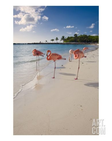 Caribbean Beach With Pink Flamingos, Aruba Photographic Print by George Oze at Art.com