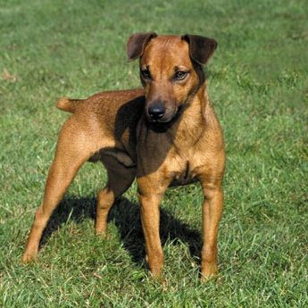 Patterdale Terrier Dog Breed Profile Razas De Perros Perros Continentes