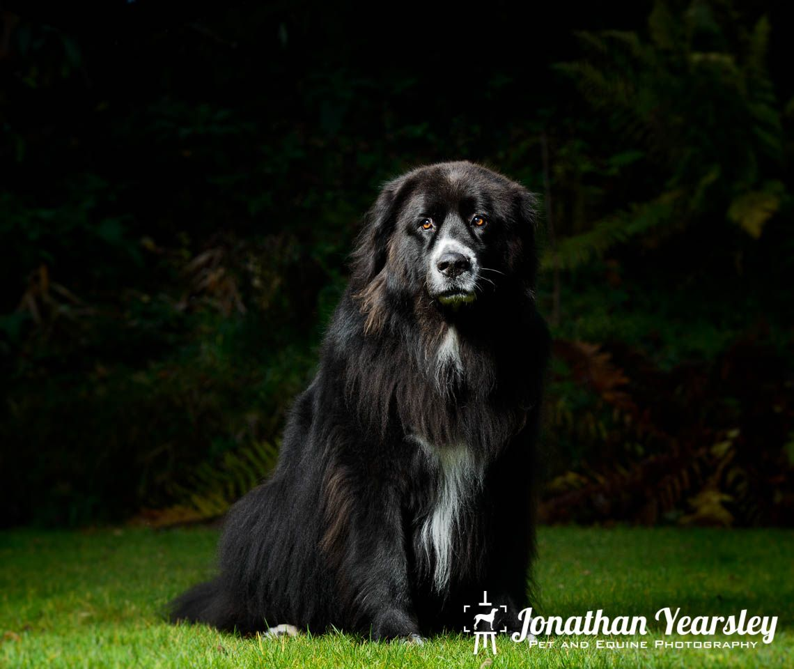 Newfoundland Dog Photography North Wales Ньюфаундленд