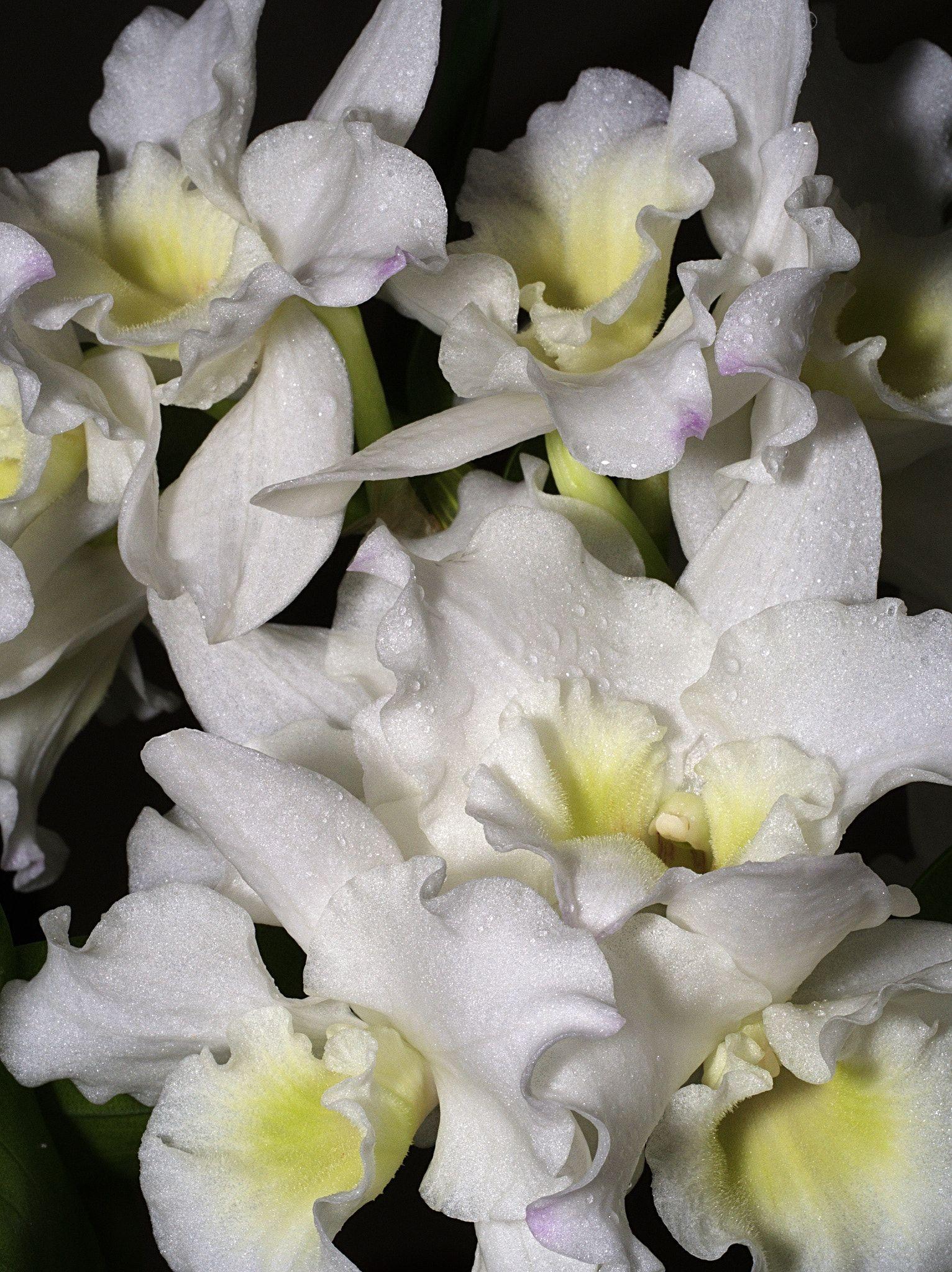 Dendrobium orchid null i love pinterest dendrobium