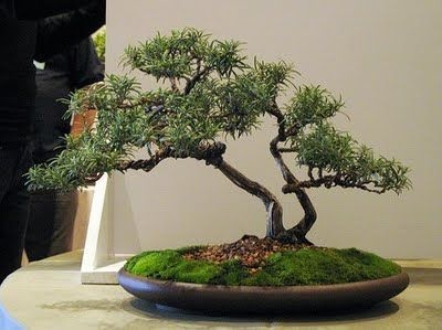 27 year old rosemary bonsai photo by andrew miniature plants rh pinterest com Best Bonsai Trees for Beginners Oldest Bonsai in the World