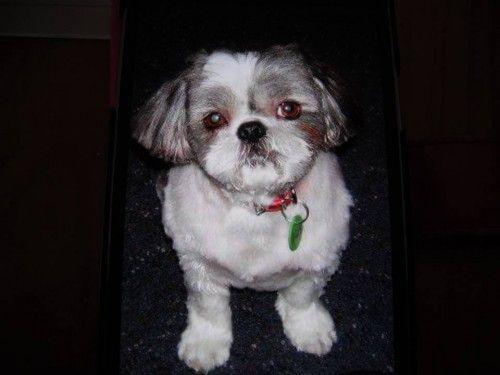 Reward For Shihtzu Dog Missing From Picnic Point Caravan Park