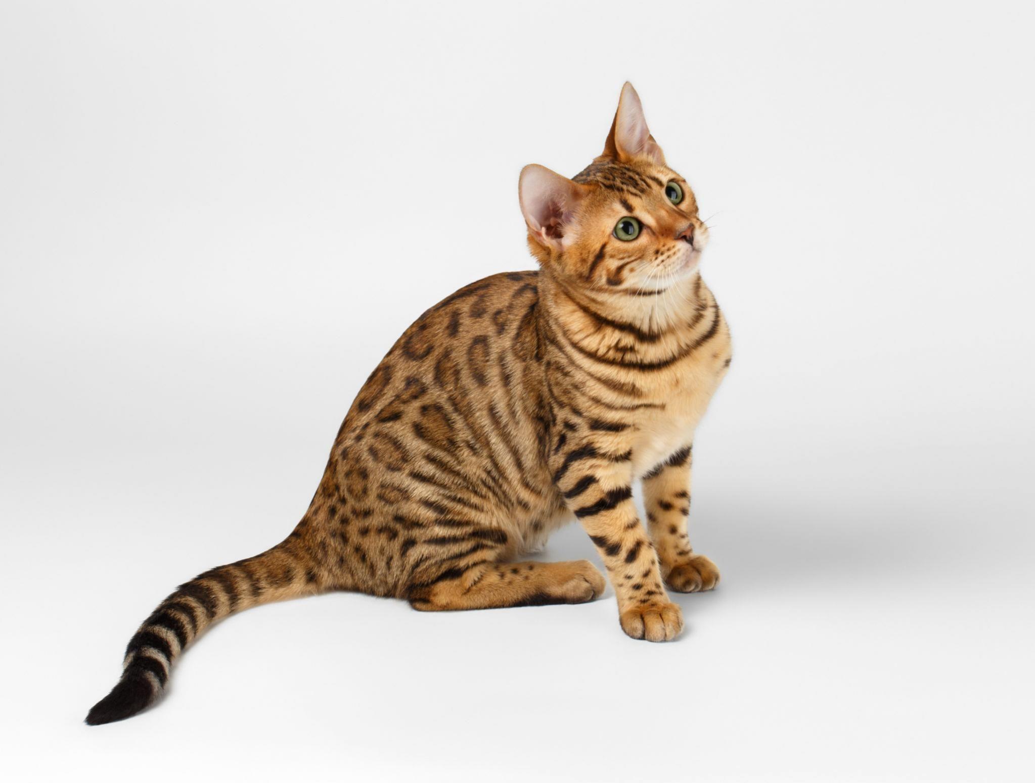 bengal cat bengal cat kitten bengal cat facts bengal cat