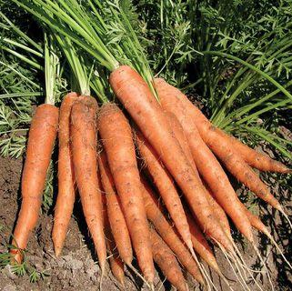 Carrot Laguna Hybrid 65 Days One Of The Best Varieties 640 x 480