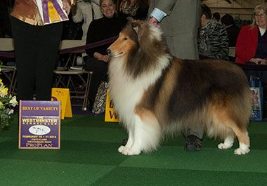 Gch Devinwood A Perfect Stranger Breed Collie Rough Four
