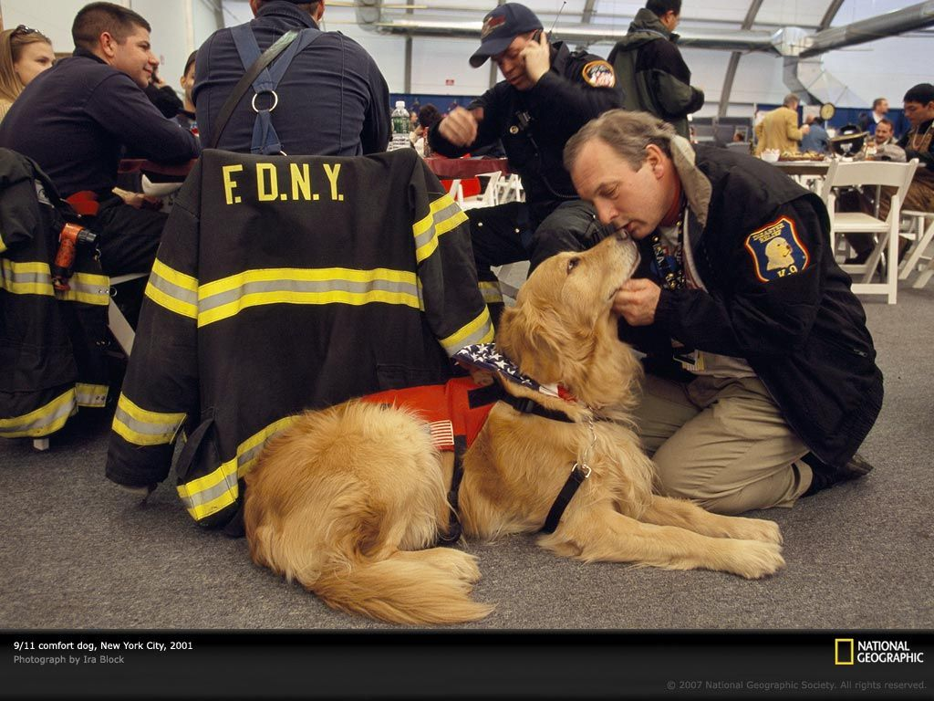 9 11 Golden Search And Rescue Dogs Therapy Dogs