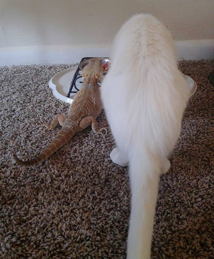Meet Charles the female bearded dragon and Baby the cat, the lovely duo that proves that true friendship can flourish against all odds. While the cat could easily hurt the beardie, he prefers keeping Charles safe and sound by cuddling with his Toothless instead.