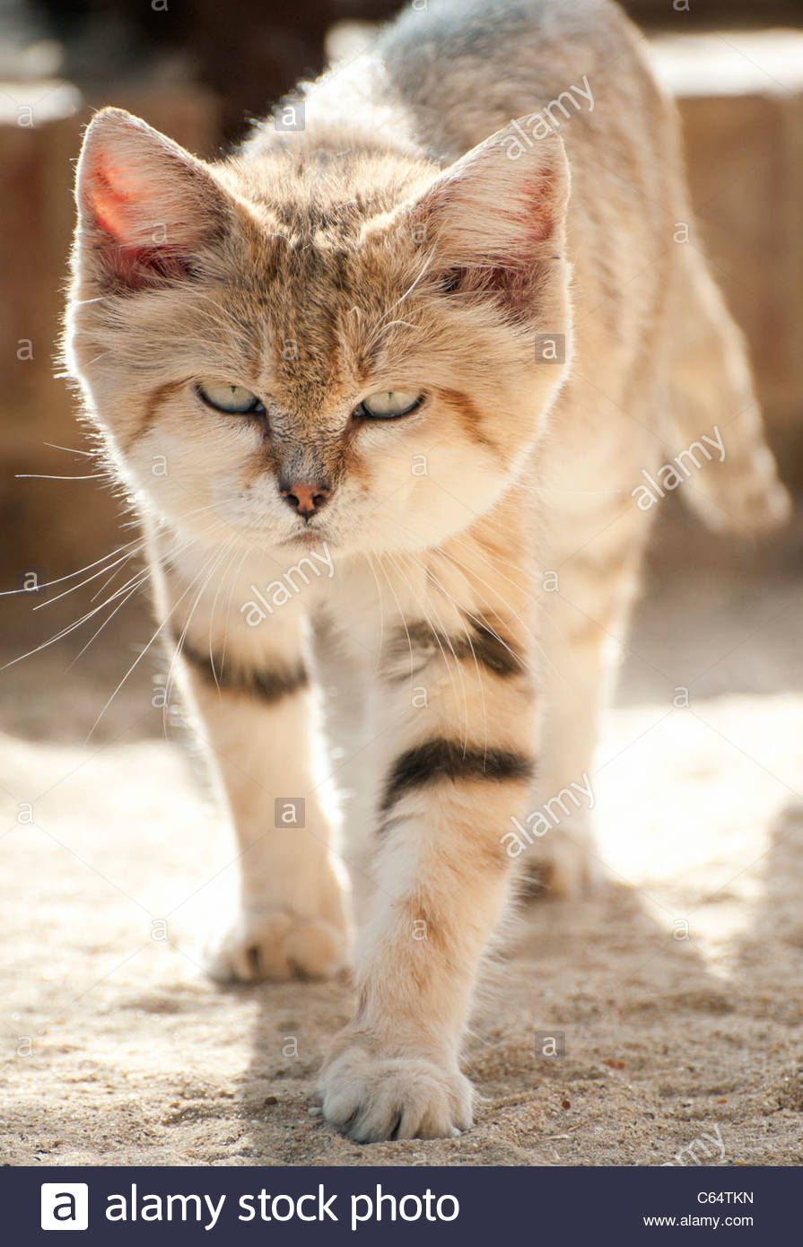 Male Arabian sand cat walking towards cameraStock Photo