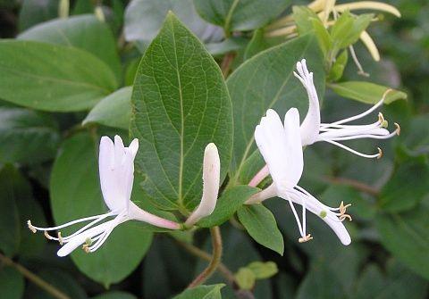 Trepadeira volúvel, pertence à família Caprifoliaceae, nativa da China e Japão, semi-lenhosa, muito vigorosa, podendo chegar até 9 metros de altura. Sua folhagem é verde escura e bastante densa. Apresenta inflorescências com flores brancas e amarelas de tamanho grande, muito perfumadas que se formam na primavera-verão. As flores são muito visitadas por beija flores. Usada ...