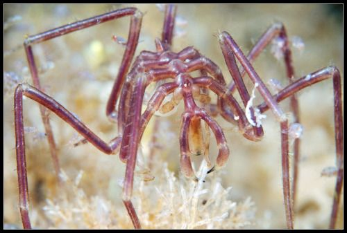 anyway people asked so this is a sea spider, not actually a spider but part of an arthropod lineage so unique we aren't really sure HOW to classify it but it probably goes back to the Cambrian era about half a billion years ago. The best part is...