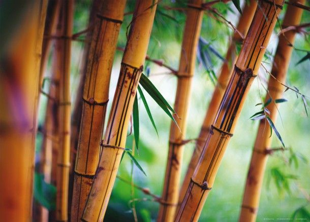 Xxl Poster Fototapete Tapete Bambus Pflanze Foto 160 X 115 Cm Fototapete Tapeten Bambus