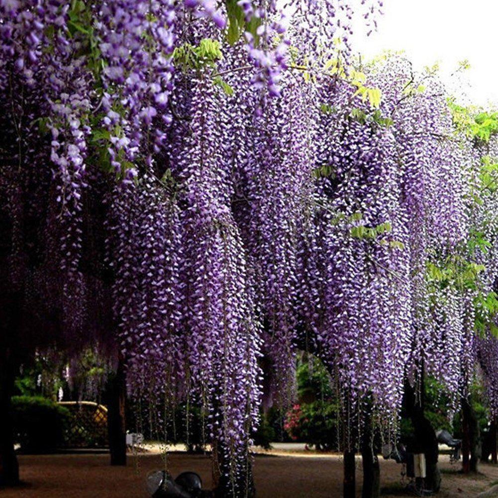 Wisteria Flower Outdoor Ornamental Plants Seeds Amethyst Falls Wisteria Vine Live Plant Chinese Wisteria Purple Wisteria Wisteria Tree