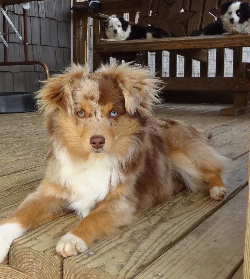 Australian Shepherd Smart Working Dog Aussie Welpen Susse Tiere Hundebabys