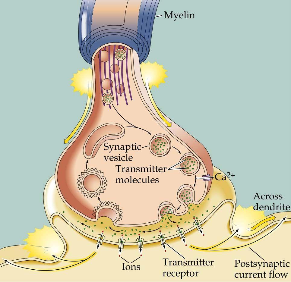 Esquema de la neurotransmisión. Muy interesante. Referencia: Citar ...