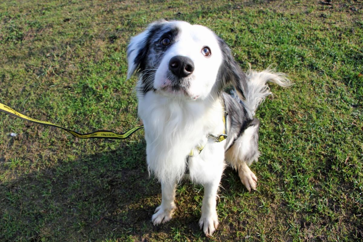 Adopt A Dog Chase Border Collie Dogs Trust Dog Adoption Dogs Collie Dog