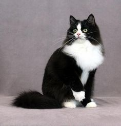 Black White Ragdoll Ragamuffin Cat Fancy Cats Cats
