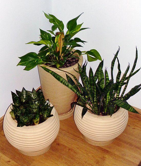 Uma planta especial para sua saúde! Plants, Gardens and Cacti