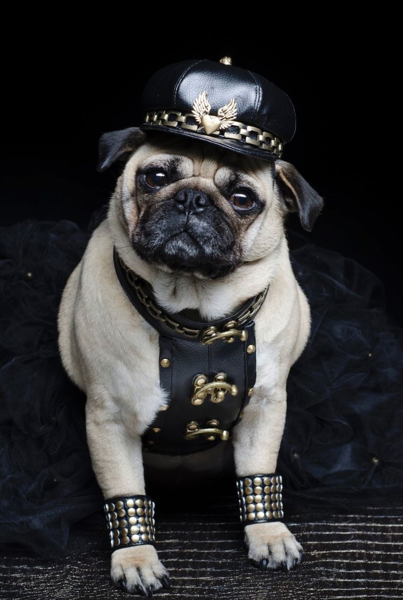 Roxy sports her leather look #pugs