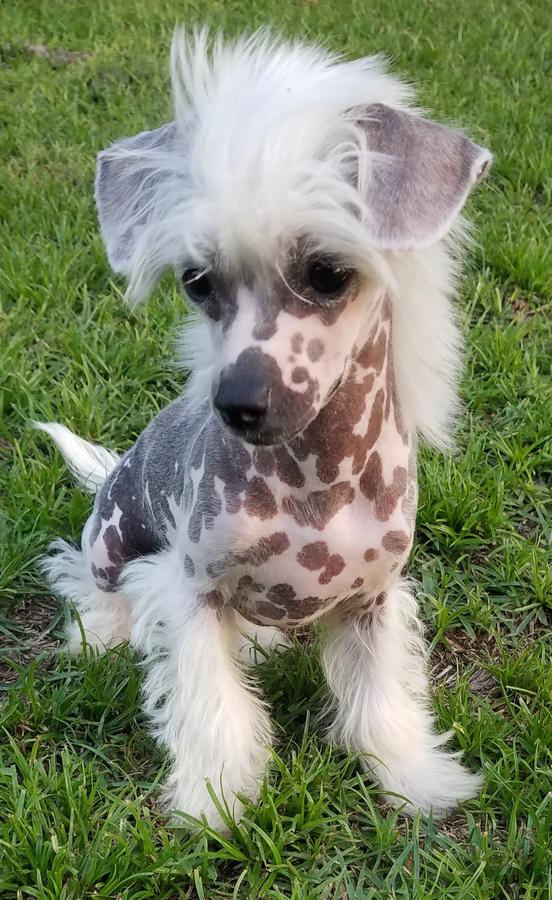 Chinese Crested Hairy Hairless Female Puppy In Hoobly Classifieds Chinese Crested Puppy Hairless Animals Chinese Dog