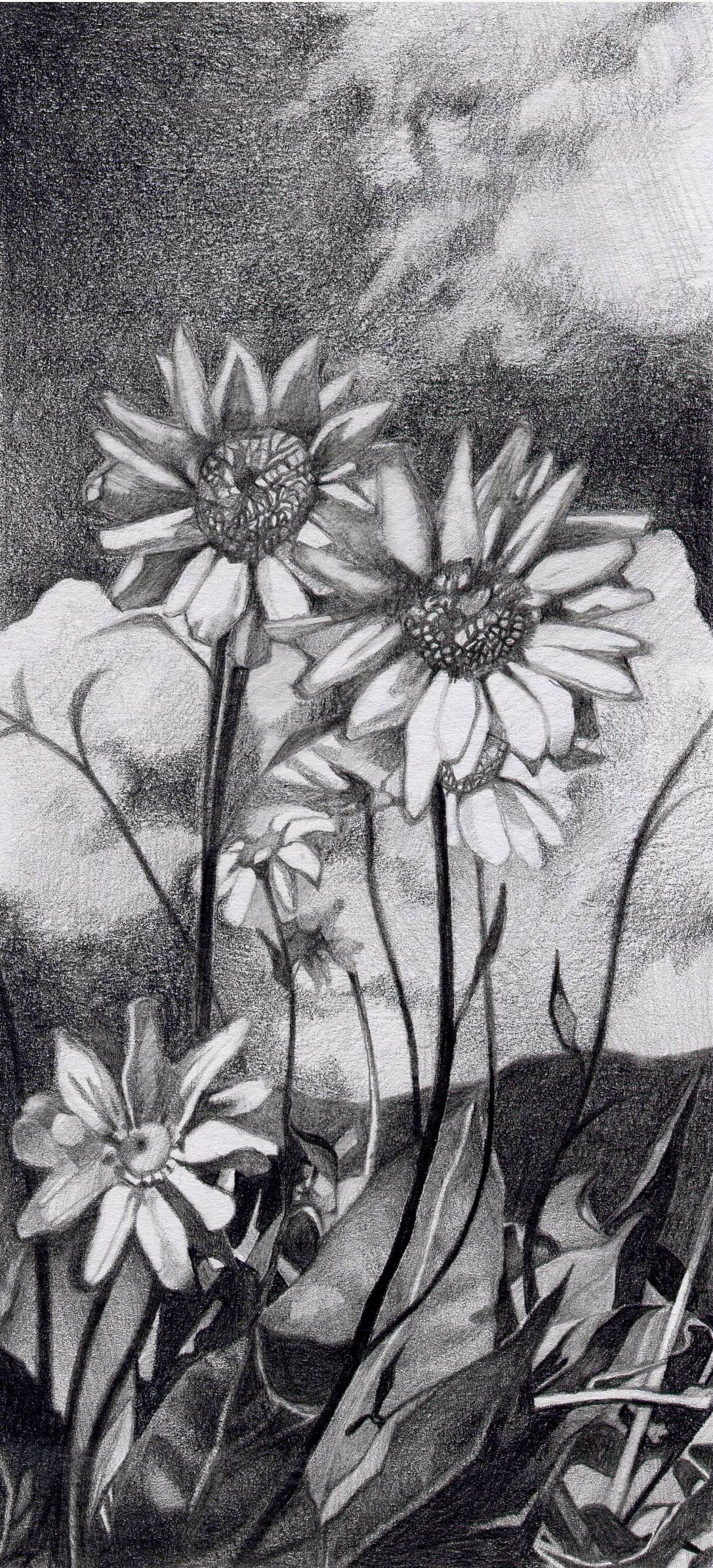 Graphite daisy drawing. (With images) Daisy drawing