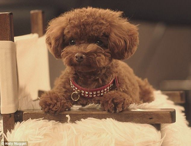 Katy Perry S Dog Nugget Wins A Starring Role In A Citi Bank