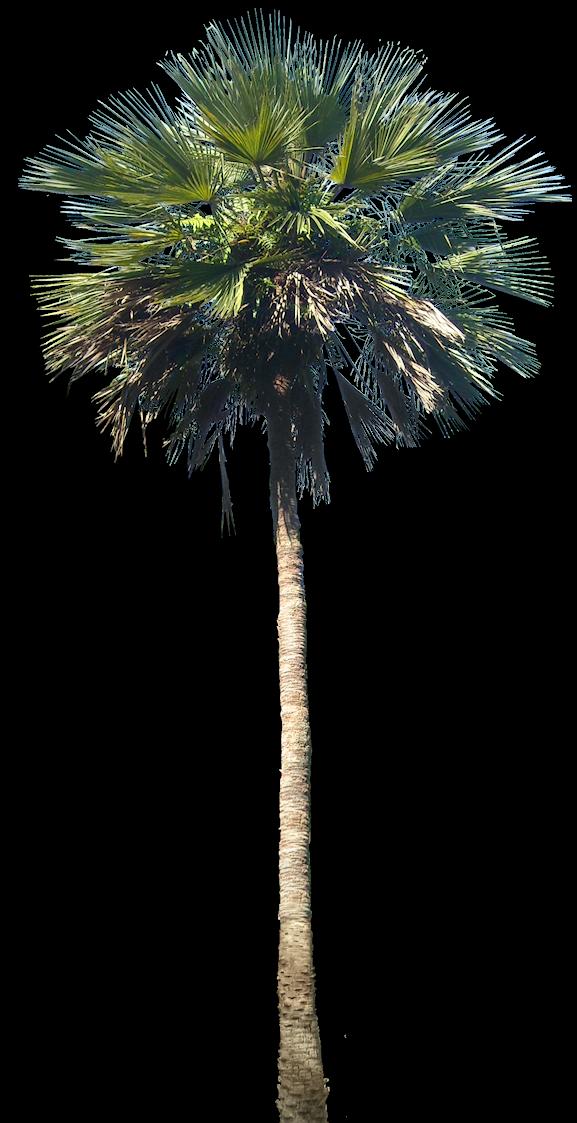 Livistonam01l Png 577 1123 Tree Photoshop Plant Pictures Palm Tree Png