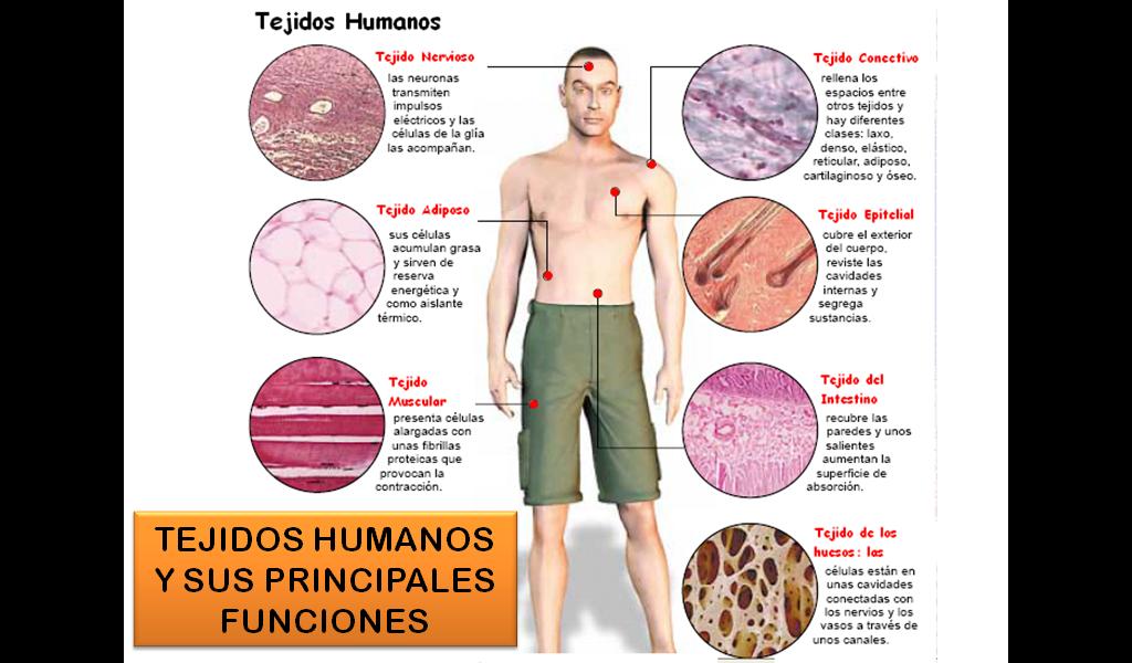 Tejidos del Cuerpo Humano | anatomia humana en 2018 | Pinterest ...