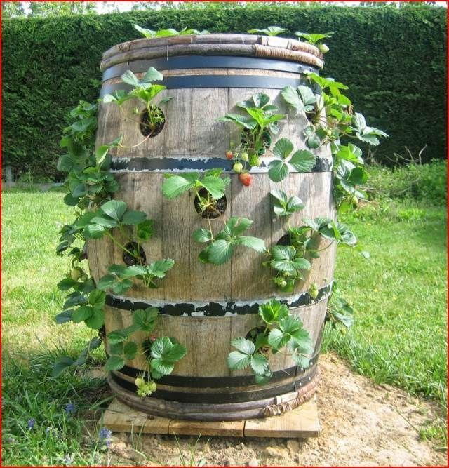 fraisier en pot conseil culture et plantation barrique pots et jardinage. Black Bedroom Furniture Sets. Home Design Ideas