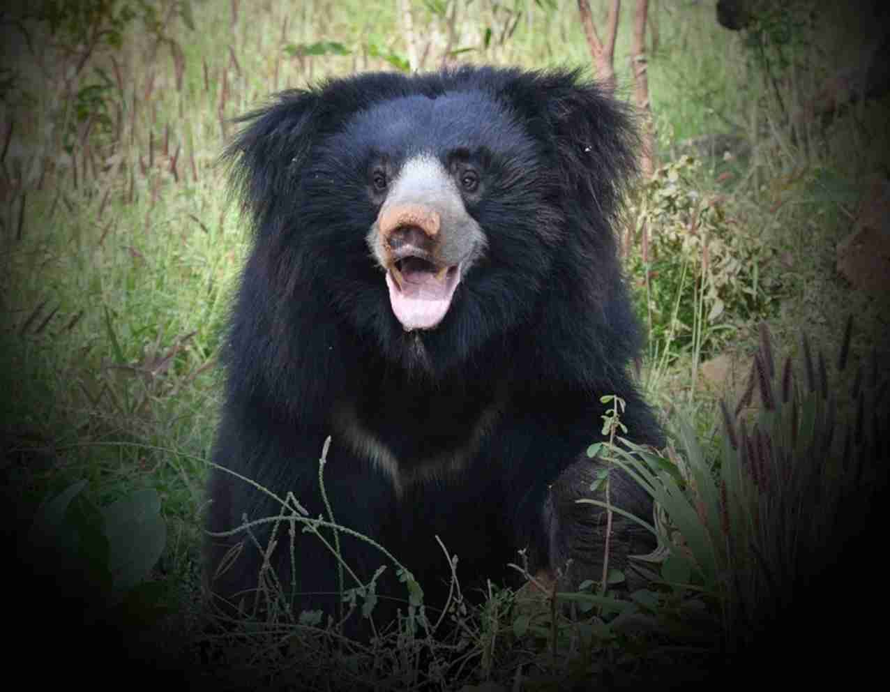 Sloth Bear Nepal Sloth Bear Bear Sloth