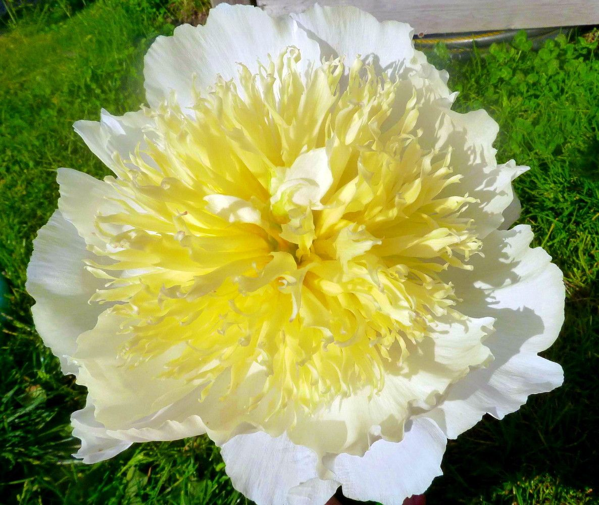 Honey Gold Peony Double Creamy Flowers Yellow Center 35 Eye