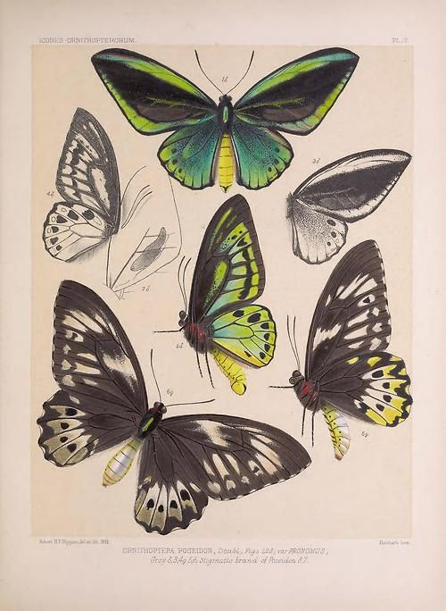 Scientificillustration Icones Ornithopterorum A Monograph Of The Papilionine Tribe Troides Of Hu Scientific Illustration Butterfly Art Butterfly Painting