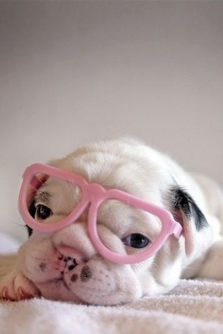 Puppy Wearing Pink Heart Glasses