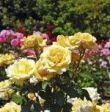 Garden #rose #bush #articles # 44 # #Ideen #Articles #Bush#fashionhijab #fashionjewelry #weddingparty #weddingplanning #weddingmoments #weddingphoto #weddingplanners #naillife #nailvarnish #nailsdone #weddingjewelry #designerjewelry #nailed #knockoutrosen