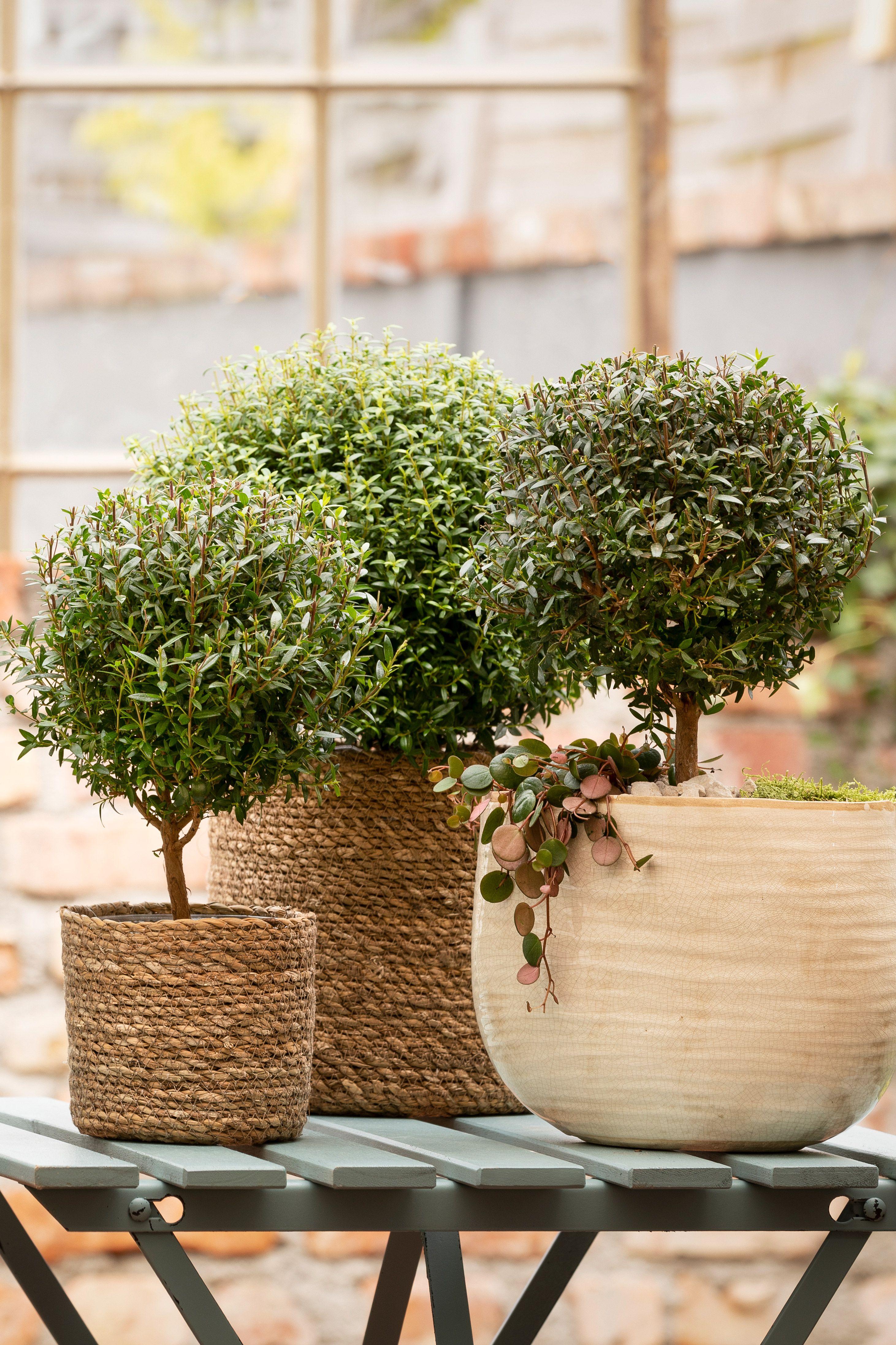 Attraktiver Zierstrauch Mit Mediterranem Flair Straucher Kubelpflanzen Pflanzen
