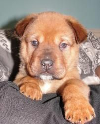 Puppy Greyson Is An Adoptable Shar Pei Dog In Coventry Ri My