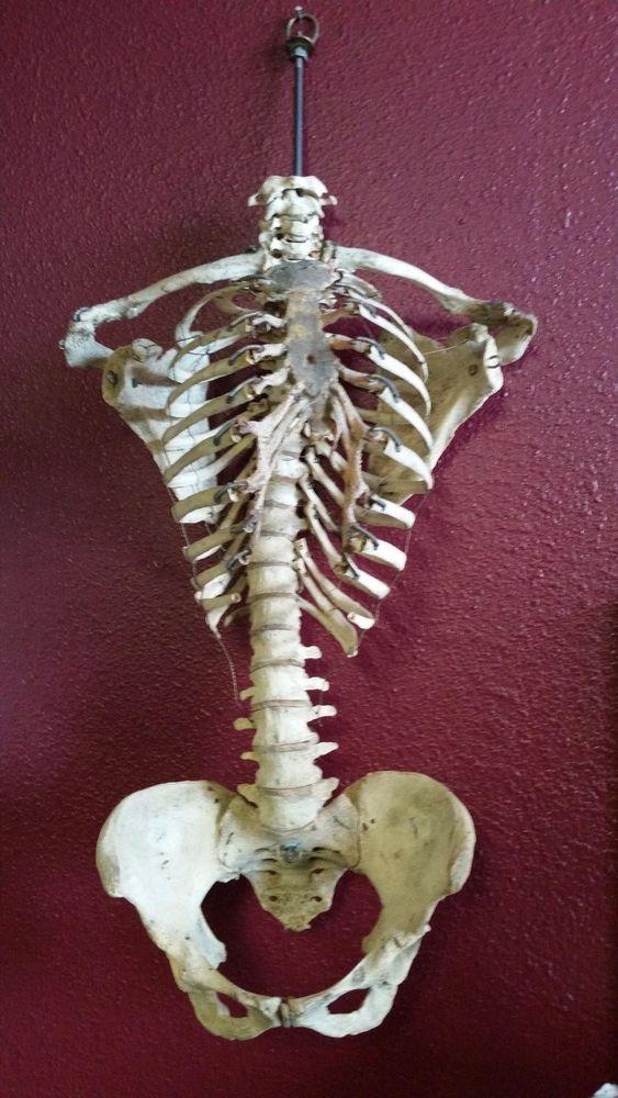Real Human Bones Antiique Medical Educational Skeleton Vertebrae
