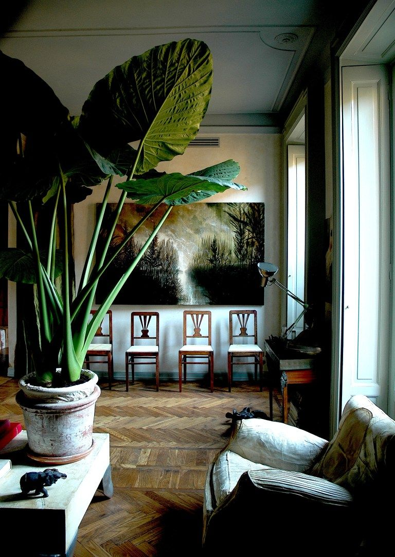 Large leafed elephant ear adds drama decorating with Large living room plants